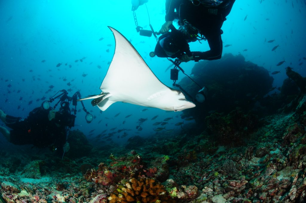 Eagle ray captured by a diver