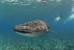 Whale shark Maldives