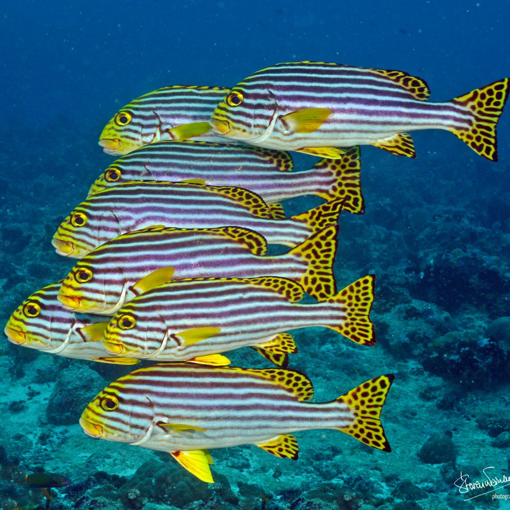 stripedfishst